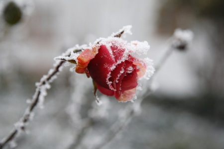 Very Cold Roses
